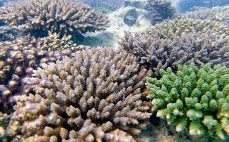 海水温の上昇に強く、白化しにくい緑のウスエダミドリイシ(右下)=沖縄科学技術大学院大学(OIST)提供
