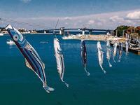 「カツオのぼり」悠々 沖縄初夏の風物詩 きょうからGW