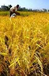 稲の収穫作業をする農家=28日正午、金武町伊芸(松田興平撮影)