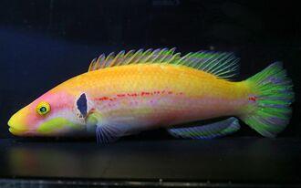 世界初展示となるベラ類の深海魚「ズナガアカボウ」(国営沖縄記念公園・海洋博公園提供)