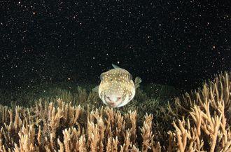 渡嘉敷島 阿波連ビーチ(2013年5月撮影)サンゴの一斉産卵の写真です。サザナミフグはバンドルを食べてませんがそわそわとしていました。