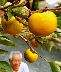 色づき始めた柿の実。秋の気配が漂う=7日午後、那覇市小禄(長崎健一撮影)
