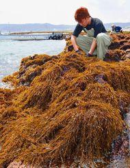 岩場に生えたヒジキを収穫する漁業関係者=22日午後、与那原町・当添漁港近くの海岸(金城健太撮影)