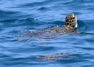 K8護岸近くの海面から顔を出したウミガメ=20日、名護市・大浦湾沖(光墨祥吾撮影)