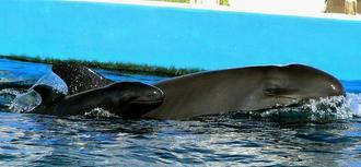 飼育プールで元気に泳ぐオキゴンドウの親子(海洋博公園提供)