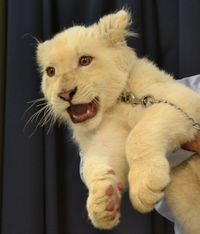 Okinawa zoo's lion cubs proving too cute to pass up