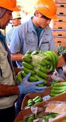 入荷した青物バナナを検品する那覇青果物卸商事業協同組合の職員ら=26日、同組合