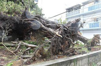 強風で倒れ、民家のフェンスを壊したガジュマルの大木=28日午前9時26分、那覇市楚辺