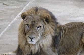 沖縄こどもの国で公開された雄ライオンのアルーシャ(沖縄こどもの国提供)