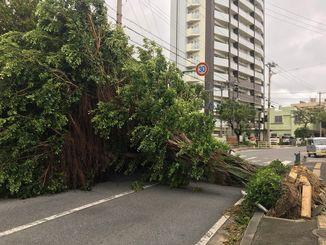 大きな街路樹が倒れ、道路をふさいだ=30日午前7時ごろ、浦添市港川