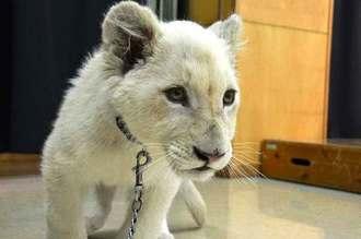 沖縄こどもの国の仲間として新たに加わったホワイトライオンの赤ちゃん=24日、沖縄市・沖縄こどもの国