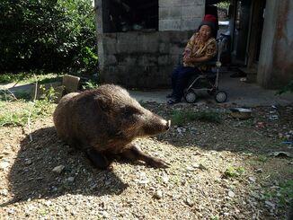 今では平敷セツ子さんの庭でくつろぐようになったイノシシのブー=8日、大宜味村押川