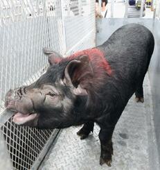 久米島町に移送される県の豚の固有種「アグー」=14日午後、那覇市・泊港