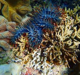 沖縄の近海でサンゴを食べる、とげに覆われたオニヒトデ(沖縄科学技術大学院大の座安佑奈氏提供)