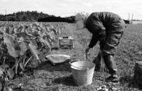 ターウム 実りの収穫/名護 子孫繁栄の縁起物