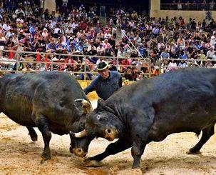 多くの観客が詰め掛け、熱戦が繰り広げられた闘牛サミット=9日午後、うるま市石川多目的ドーム(伊藤桃子撮影)