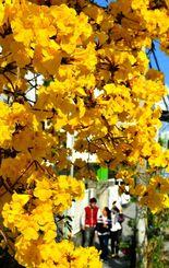 穏やかな日差しに照らされ、黄金色に輝く満開のイペー=25日、浦添市宮城(伊藤桃子撮影)