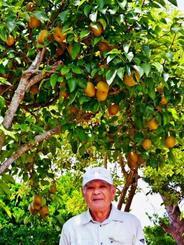 仲宗根義雄さんの庭で、枝もたわわに実った梨=22日、本部町・瀬底島