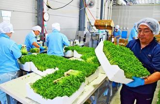 豆苗の出荷作業に追われる従業員ら=8日午後、大宜味村塩屋の「沖縄村上農園」