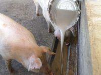 """肉質は向上、コストも半減 沖縄初の試みが""""豚々拍子""""の飼料とは?"""