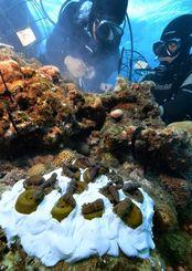 水中用の接着剤で海底の岩場に移植されたサンゴの苗=5日午後、渡嘉敷村のハナリ島沖(伊藤桃子撮影)