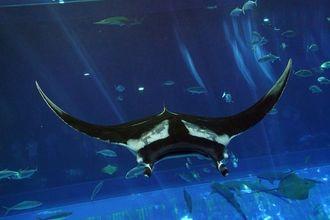「黒潮の海」大水槽で泳ぐジャイアントマンタ(沖縄美ら海水族館提供)