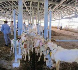 ことしに入って価格が高騰しているヤギ競り=8月、糸満市武富・南部家畜市場