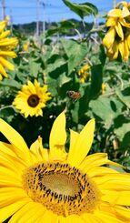 ぽかぽか陽気に誘われるように、ヒマワリの花に近づくミツバチ=22日午後、南風原町大名(伊禮健撮影)