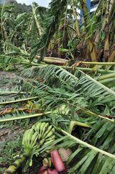 強風の影響で倒れたバナナの木=21日午前11字12分、南城市知念久原(伊禮健撮影)