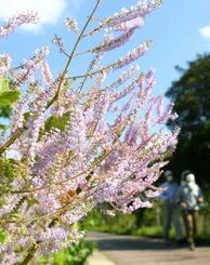 青空の下で咲き誇るフブキバナ=15日、那覇市・漫湖公園(国吉聡志撮影)