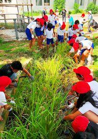 泥んこで稲刈り大変/真嘉比小で収穫体験