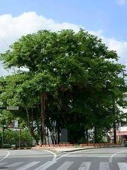 名護の大木、ひんぷんがじまるは私の中高時代の通学時に常に励まされた風景だ(おいの与那覇定幸さん撮影)