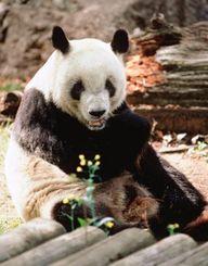 在りし日のリンリン(東京動物園協会提供)