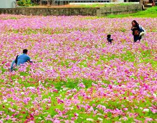 色鮮やかに咲き誇るコスモス=17日、金武町・伊芸区集会所前