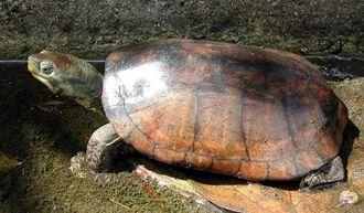 環境省が輸出制限の検討に入ったヤエヤマイシガメ(自然環境研究センター提供)
