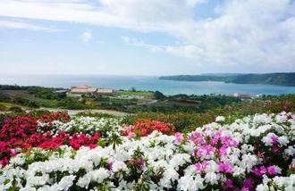 鮮やかなツツジが咲く村民の森つつじ園から望む平良湾(東村提供)