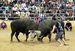 顔に黒と白のブチがある闘牛。見た目から、「パンダ」と名付けられることも多い