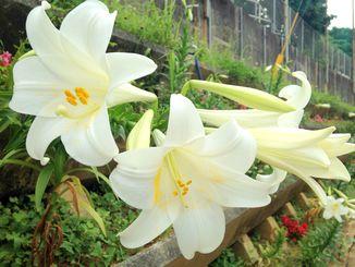 浦添市の中学校ではテッポウユリが咲き始めています。