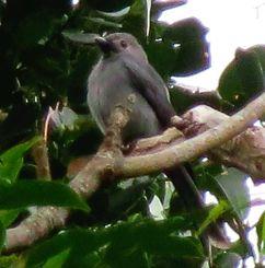 枝の上で羽を休めるハイイロオウチョウ(羽地邦雄さん撮影)