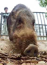 2019年の主役へ「猪突猛進」 沖縄こどもの国、2頭は愛嬌いっぱい