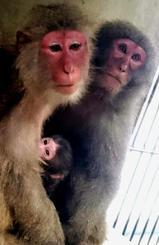 母「たまこ」(左)から誕生したヤクシマザルの赤ちゃん(沖縄こどもの国提供)