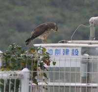 水タンクを見つめるサシバ 自らの姿に「仲間?」 沖縄・南風原