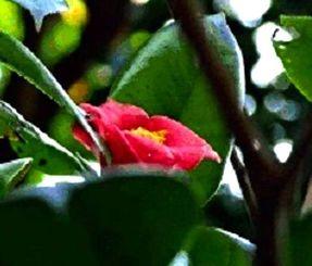 末吉公園で花をつけたツバキ=26日(沖縄気象台提供)