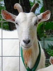 連続で三つ子を産んだ母ヤギ=石垣市内の飼育地