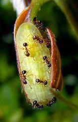 ムラサキシジミの幼虫に群がるアミメアリ(辻和希教授提供)