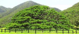 国の天然記念物に指定される伊平屋島の念頭平松=伊平屋村田名(伊平屋村教育委員会提供)