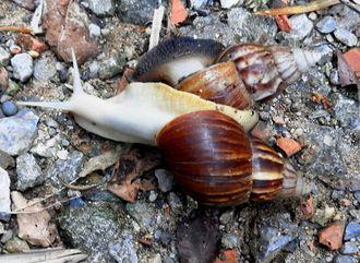 通常個体に覆いかぶさる胴体が白いアフリカマイマイ=9月25日、名護市(読者提供)