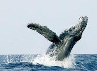 ザトウクジラの繁殖のピークを解明 沖縄美ら島財団
