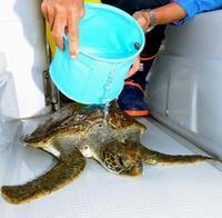 衰弱したアオウミガメを保護 辺野古のカヌー市民「国の工事のせい」