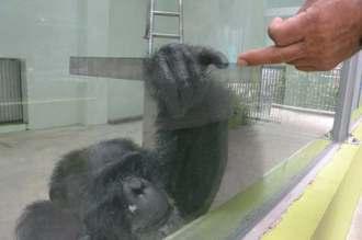 指で飼育員や客と心を通わせるチンパンジー「すぐる」=10日、沖縄こどもの国